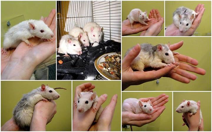 13 hüljatud rotti